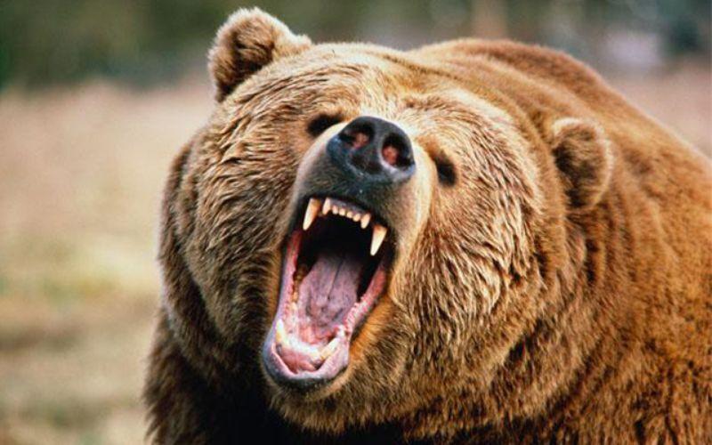 خبرنگاران حمله یک خرس به مرد اندیکایی