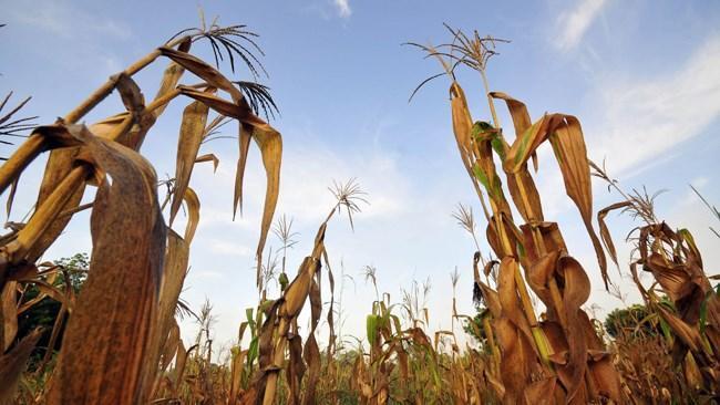 بخش کشاورزی نجات بخش اقتصادهای کرونازده