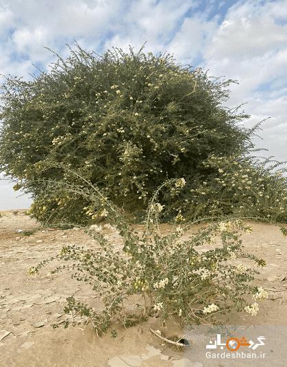 عکس، کشف درختی بی نظیر در عمان